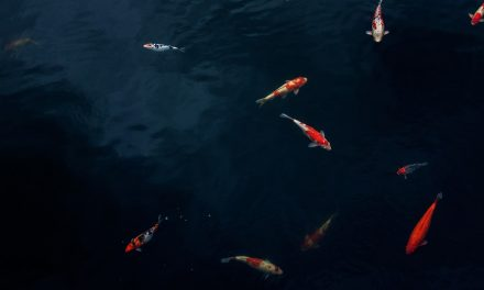 What Do Koi Fish Eat & When to Feed Them