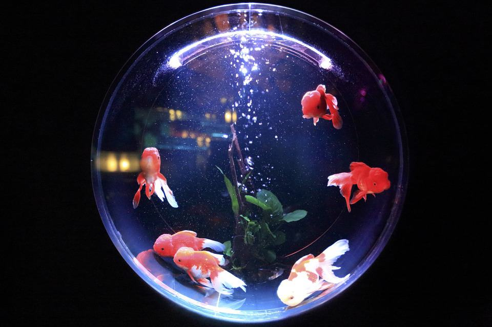 What Fish Can Live in a Bowl